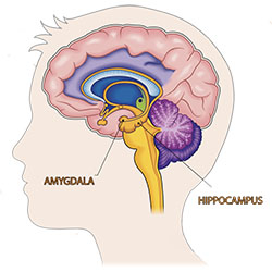 Image showing a sagittal view of a human brain with the hippocampus and amygdala marked.